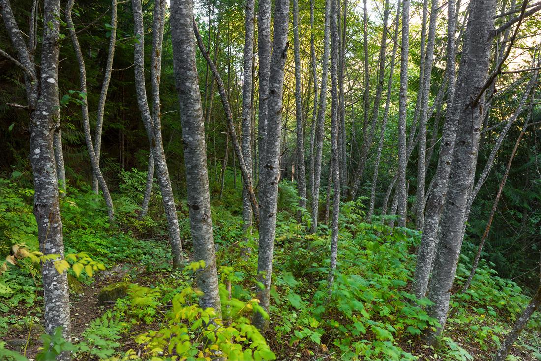 Sylvan Wood