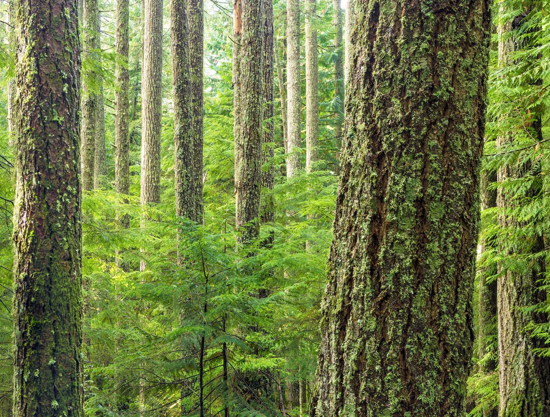 Standing Cedars
